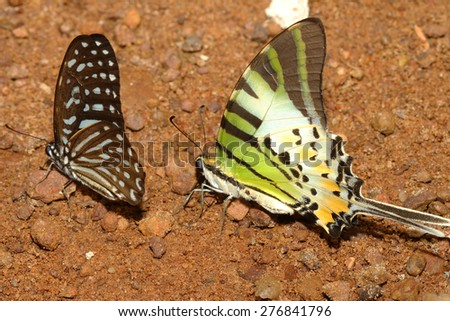 two butterfly on ground in forest thailand - stock photo