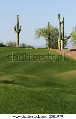 Two cactus on the edge of a golf course in Arizona are outlined against a blue sky. The contrast between the lush green grass on the golf course and the dry desert brown makes this interesting. - stock photo