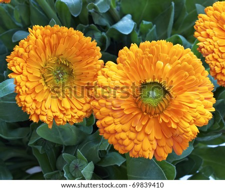 two calendula flowers, natural background - stock photo