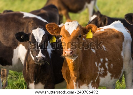 Two Calves Grazing In a Field - stock photo