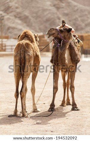 Two camel closeup resting at the ranch