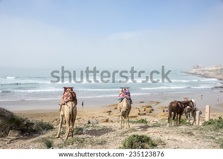 Two camels and a horse eating grass and surfers surfing in the Medirerranean sea in the surfer�s village of Taghazout in Agadir, Morocco in the spring.
