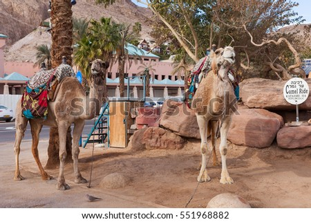 Two Camels at the desert city of Eilat