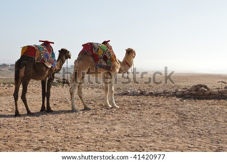 Two camels in a desert