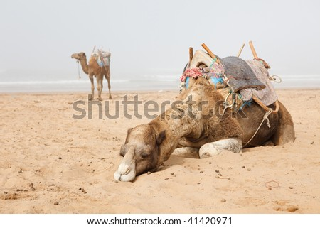 Two camels in beach