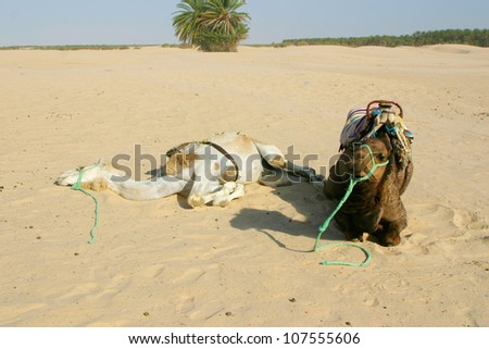 Two camels resting in the desert sahara