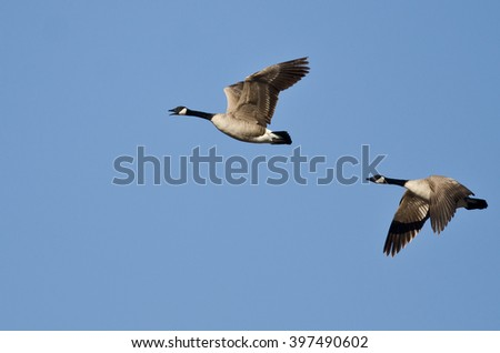 Two Canada Geese Flying in a Blue SKy - stock photo
