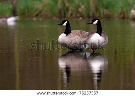 Two canadian geese - stock photo