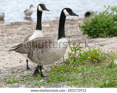 Two canadian geese on the river bank - stock photo