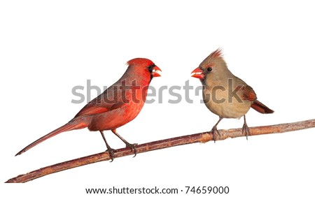 two cardinals together eating a dinner of  safflower seeds; white background - stock photo