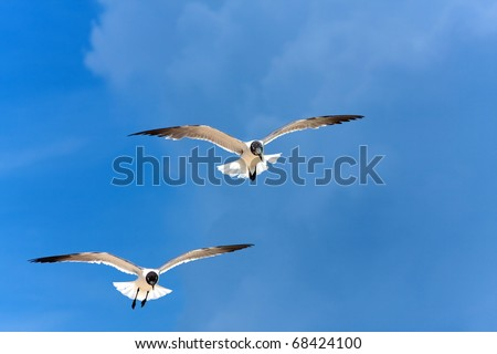 Two Caribbean seagulls flying over a  blue sky. - stock photo