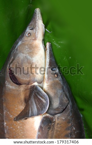 Two catching Sturgeons (Acipenser baerii). The Siberian Sturgeon is a source for caviar and tasty flesh.  - stock photo