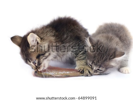 two cats eat one fish.focus on right kat - stock photo