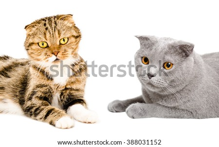 Two cats Scottish Fold isolated on white background - stock photo