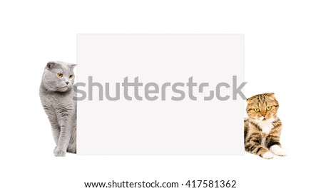Two cats Scottish Fold peeking from behind a banner, isolated on white background - stock photo