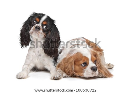 two Cavalier King Charles Spaniel dogs in front of a white background