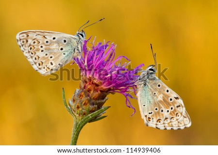 Two chalkhill blue butterflies - Polyommatus coridon sitting on a knapweed - stock photo