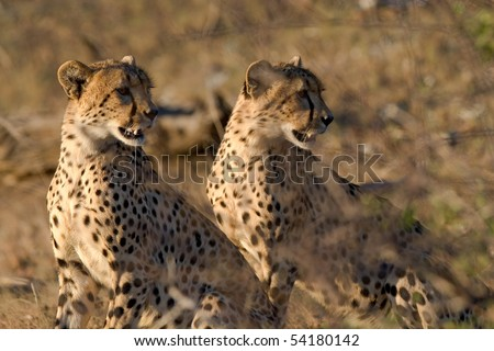 Two cheetah brothers looking over their shoulders - stock photo