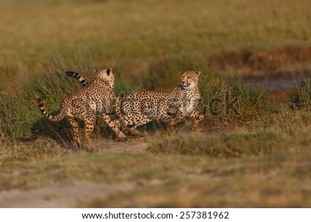 Two Cheetah brothers playing in the Ngorongoro Conservation Area, Tanzania - stock photo