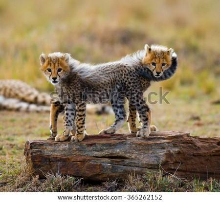 Two cheetah cub standing on a rock. Kenya. Tanzania. Africa. National Park. Serengeti. Maasai Mara. An excellent illustration. - stock photo