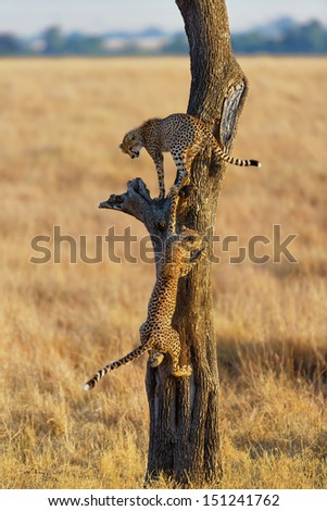 Two Cheetah cubs playing in a tree in Masai Mara, Kenya, Mother: Narasha - stock photo