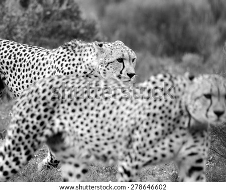 Two cheetah on the move in this abstract image taken in South Africa - stock photo
