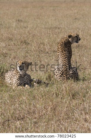Two cheetah relaxing in the afternoon sun in the Masai Mara.