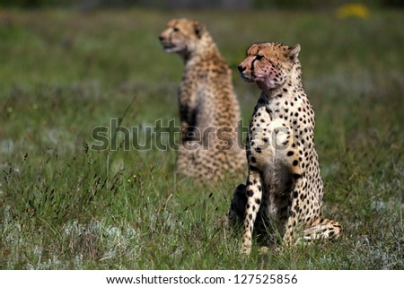 Two cheetah sitting in the green grass on safari in South Africa - stock photo