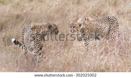 Two cheetahs looking one to another, Masai Mara National Reserve, Kenya, East Africa - stock photo