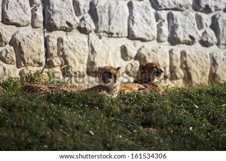 Two cheetahs lying in the green grass against white rocks. - stock photo