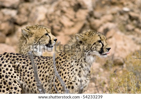 Two Cheetahs on the lookout for prey - stock photo