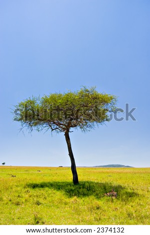 Two cheetahs resting below an acacia tree in Massai Mara, Kenya - stock photo