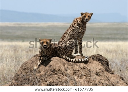 Two cheetahs. Two cheetahs sit on a termite hill under the scorching sun in hot day. - stock photo