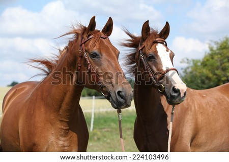 Two chestnut horses standing together in summer - stock photo