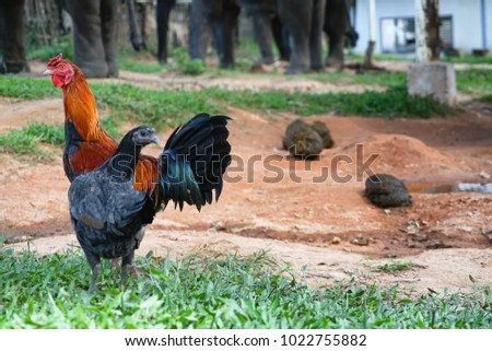 Two chickens standing on lawn in countryside.