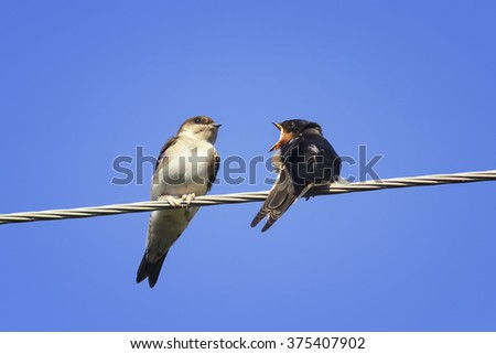 two Chicks swallows on the wires waiting for the mother bird - stock photo