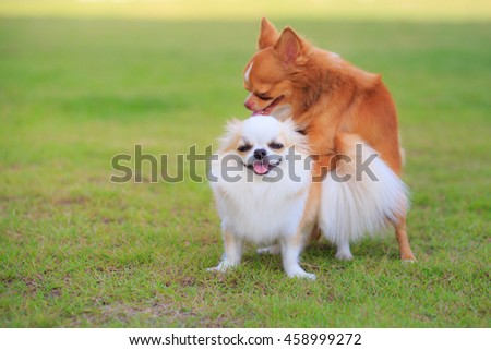 Two Chihuahua dog making love, funny expressions.