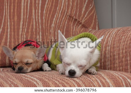 Two Chihuahua dogs dressed with pullovers resting on sofa, 4 months old cinnamon puppy and 3 years old white female. - stock photo