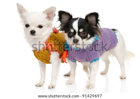 Two Chihuahua dogs in clothing on the white background in the studio - stock photo