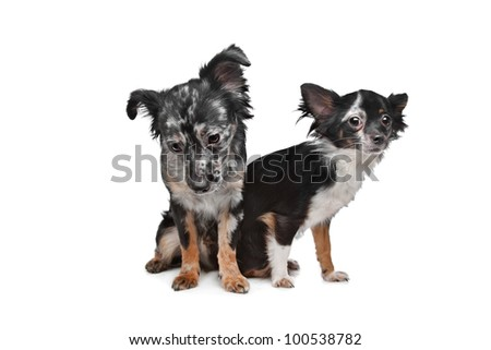 Two Chihuahua dogs in front of a white background
