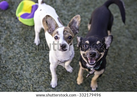 Two Chihuahua dogs looking up at camera