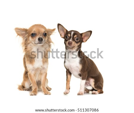 Two chihuahua dogs one long haired one short haired, both sitting and facing the camera isolated on a white background