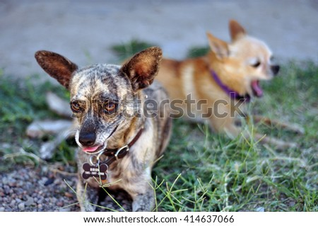 Two Chihuahua-mix dogs sit in summer-time shade.  - stock photo