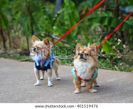 Two chihuahua on leashes are nose to each othere - stock photo