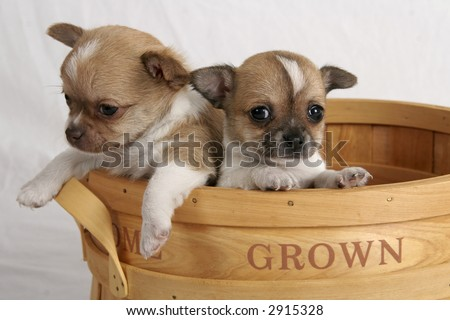 Two chihuahua puppies inside a wooden fruit basket - stock photo