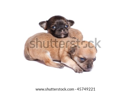 two chihuahua puppy (3 week) in front of a white background