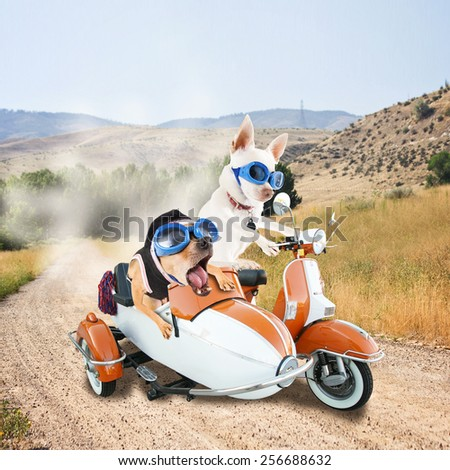two chihuahuas in a scooter dirt road on a joy ride  - stock photo