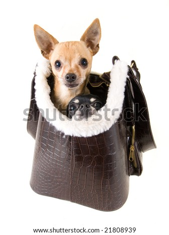 two chihuahuas ready for a ride - stock photo