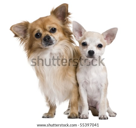 Two chihuahuas, 3 years old and puppy of 5 months, in front of white background - stock photo