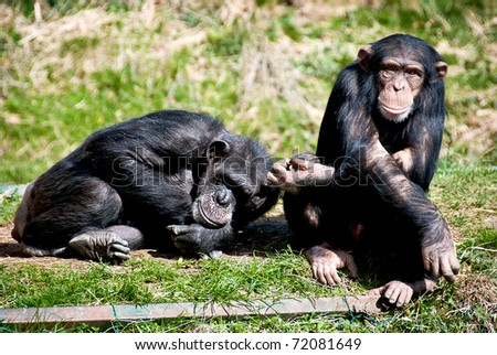 Two Chimpanzees seating and lying on the grass
